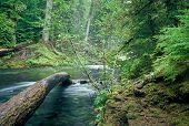 stock photo of mckenzie  - Fallen tree in the McKenzie River in central Oregon - JPG