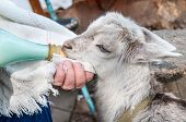 stock photo of baby goat  - Hand feeding a baby goat with a milk bottle - JPG