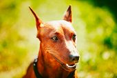 picture of miniature pinscher  - Close Up Red Dog Miniature Pinscher (Zwergpinscher Min Pin) Head Over Green Grass Background