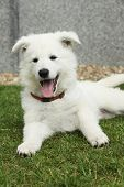picture of swiss shepherd dog  - Beautiful puppy of White Swiss Shepherd Dog lying in the garden - JPG