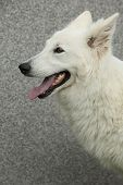 pic of swiss shepherd dog  - Potrait of amazing White Swiss Shepherd Dog - JPG
