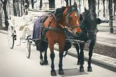 pic of hackney  - Two horses in traditional Vienna carriage harness, Austria