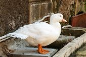 picture of gadwall  - white duck is resting in the shadow of the branches  - JPG