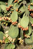 pic of prickly pears  - Wild prickly pears with ripe fruits in red - JPG