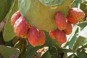 stock photo of prickly pears  - Wild prickly pears with ripe fruits in red - JPG