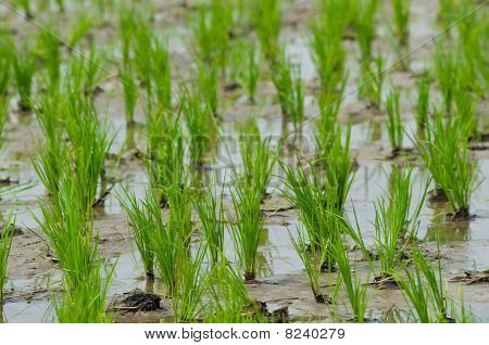 Rice Seedlings In Thailand