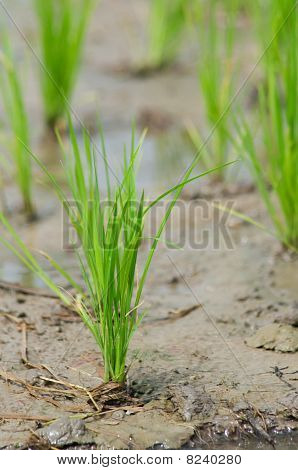 Rice Seedling In A Wet Paddy Field In Thailand.