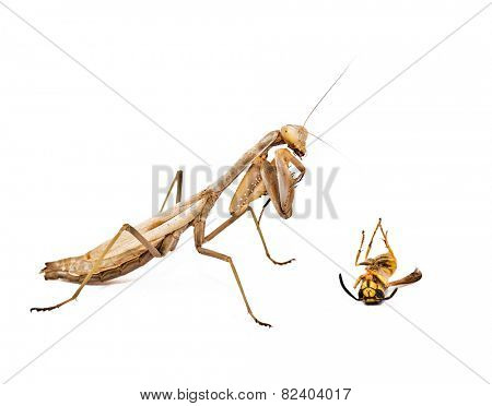 the mantis that killed the wasp