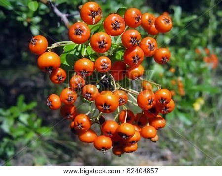 Fruits Of The Mountain Ash