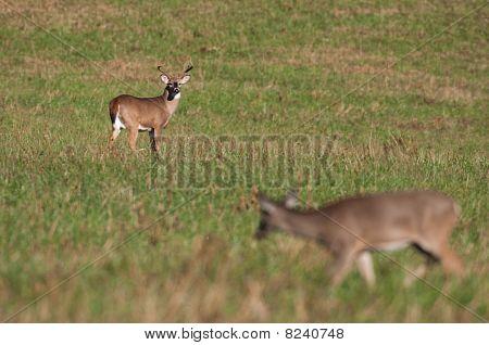 Whitetail Deer Buck Watching Doe During Rut