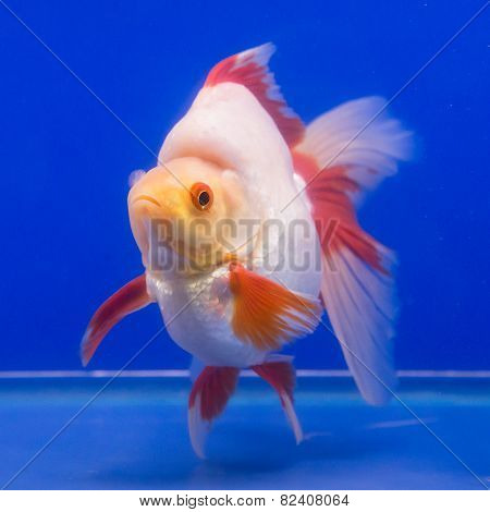 Goldfish in an aquarium with blue background.