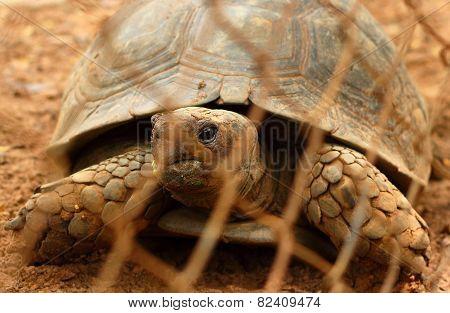 Tortoise Crawling.