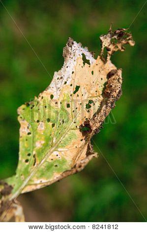 Cercospora beticola