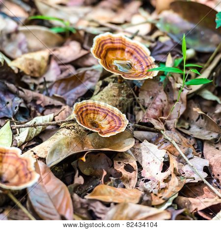 Wild Brown Striped Mushrooms Growing In A Forest Of India, Closeup