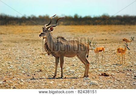 Isloated Kudu in Etosha