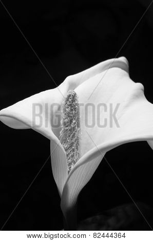 Flower Of Calla Lily Closeup
