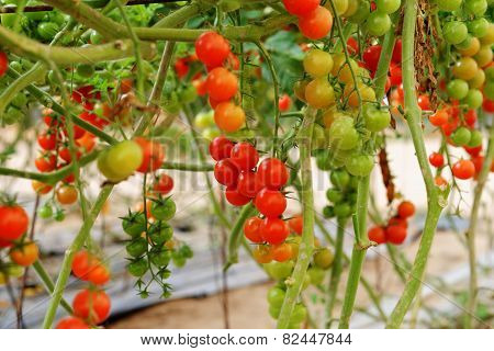 Cherry tomatoes growing on the vine