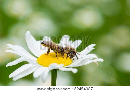 Bees Sucking Nectar