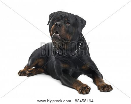 Rottweiler (3 years old)