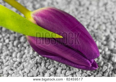 Purple tulip lying on a grit