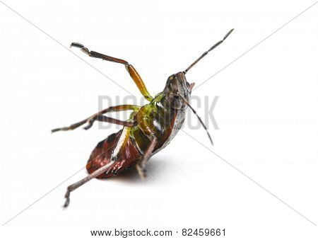 Southern green stink bug, Nezara viridula, falling