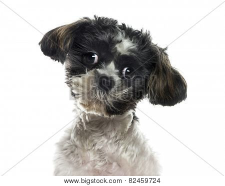 Close-up of a Shih tzu