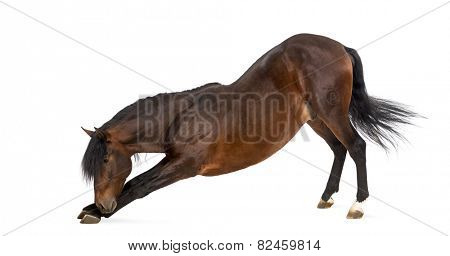 Andalusian horse bowing
