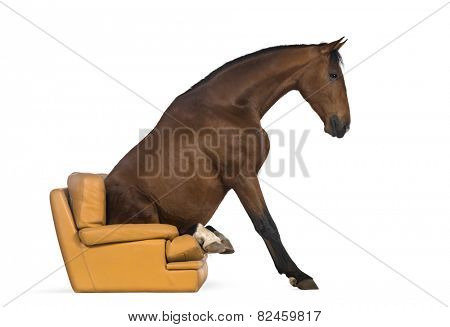 Andalusian horse sitting on an armchair