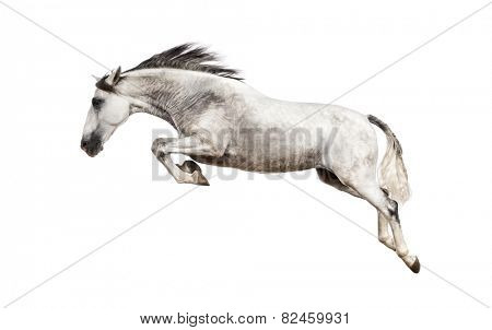 Andalusian horse jumping