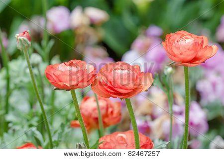 Persian Buttercup Flowers (ranunculus)