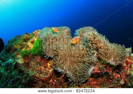 Skunk Clownfish (Anemonefish)