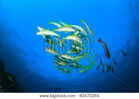 School of fish: Yellowfin Goatfish underwater on coral reef