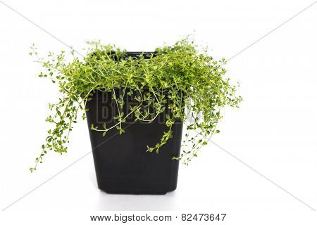 A young garden thyme plant is a plastic pot.