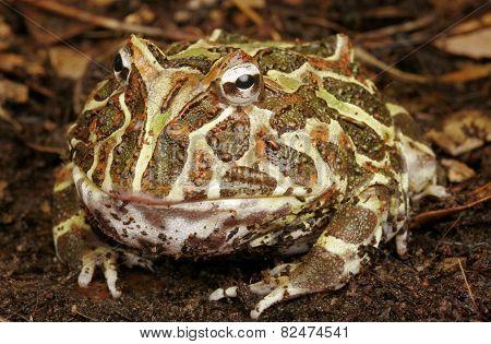 Argentine Horned Frog.