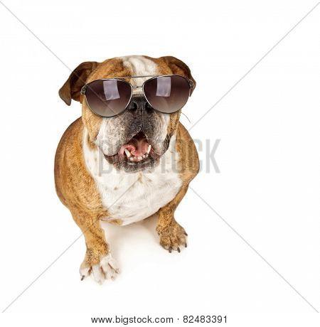 a cute bulldog with sunglasses on