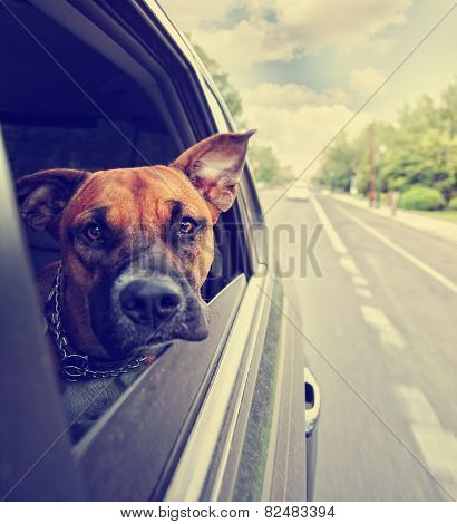 a cute pit bull boxer mix riding in a car toned with a retro vintage instagram filter effect app