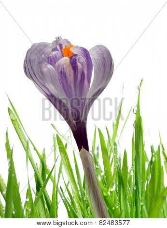 Crocus flower with dewy green grass on white background