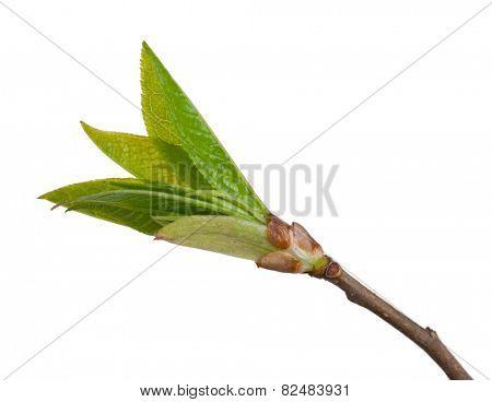 Buds wild cherry. Macro