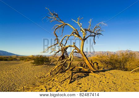 Dead Tree On Mesquite Flat Dunes Death Valley