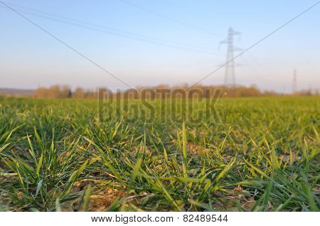 Seedlings Wheat