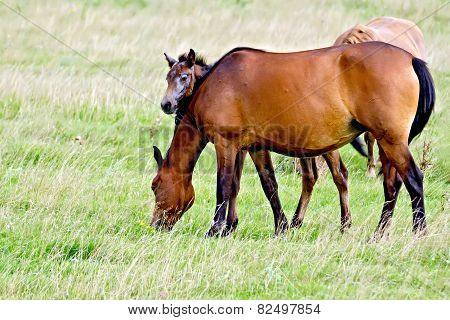 Horse sorrel with foal