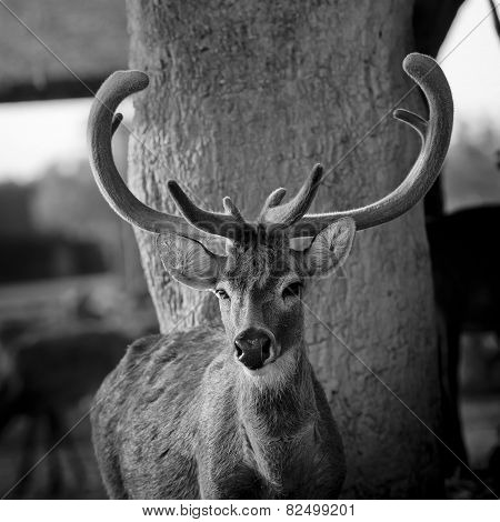 Black And White Color Beautiful Image Of Red Deer Stag In Forest