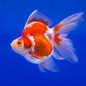 picture of goldfish  - Goldfish in an aquarium with blue background.