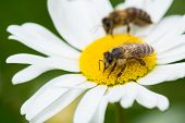 foto of sucking  - Bees sucking nectar from a daisy flower - JPG
