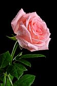 stock photo of pink rose  - Pink Rose and drops on the black background - JPG