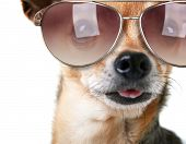 pic of chihuahua  - a cute chihuahua with sunglasses on - JPG