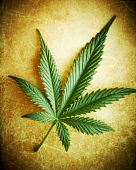 stock photo of marijuana leaf  - Cannabis leaf on grunge background shallow DOF - JPG