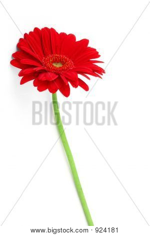 Slender Gerbera On White