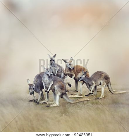 Herd Of Kangaroos In A Field
