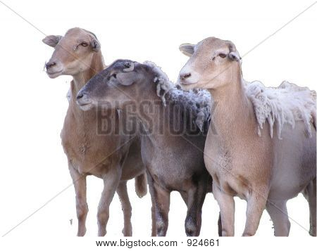 3 Sheep Isolated